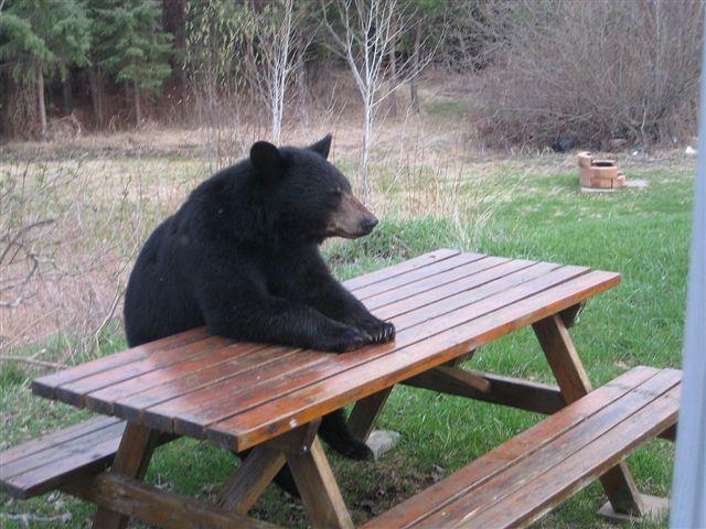 bbear_picnic_table
