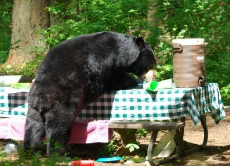 black-bear-dining-out